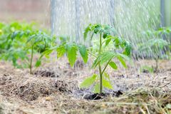 Homegrown tomato plant without vegetables at early stage of growth. Tomato sprout with water droplets on leafs surrounded by mulch.  stock image