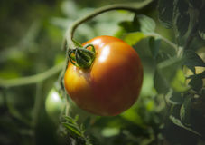 Homegrown Tomato on the Vine in a Garden. Single tomato hanging on a vine in a home garden Royalty Free Stock Images