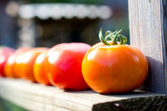 Homegrown tomatoes Royalty Free Stock Photos