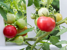 Homegrown tomatoes on white fence Stock Images