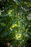 Homegrown unripe sweet tomatoes in a glasshouse Royalty Free Stock Photos