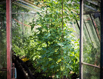 Homegrown unripe sweet tomatoes in a glasshouse Stock Images