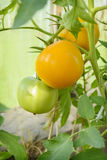 Homegrown yellow tomato. On branch stock photography