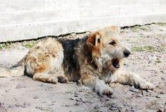 homeless собаки Стоковые Изображения RF