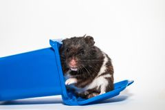 Homeless black syrian hamster, inside blue container Stock Image