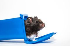 Homeless black syrian hamster, inside blue container Royalty Free Stock Photos