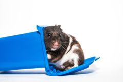 Homeless black syrian hamster, inside blue container Stock Images