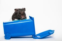 Homeless black syrian hamster, inside blue container Royalty Free Stock Image