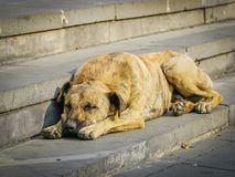 Homeless brown dog lays on the gray stone stairs. In the city royalty free stock photo
