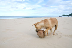 Homeless brown dog playing the waves at the beach with dry coconut Stock Image