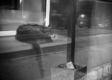 Homeless Cat. Black and white portrait of a homeless cat sleeping on a ledge near street Stock Photos