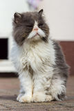 The homeless cat. Dirty and sick homeless cat Persian breed Royalty Free Stock Images