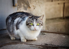 Homeless cat without ear Stock Images