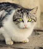 Homeless cat without ear Stock Image