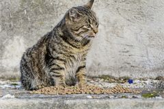 Cat Eating Dry Food Royalty Free Stock Photography