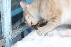 Homeless cat eating outdoor Royalty Free Stock Image