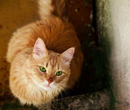 Homeless cat with green eyes staring at people. Cat with green eyes staring at people Royalty Free Stock Images
