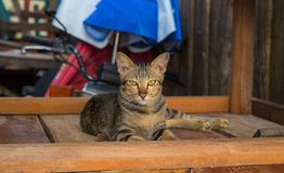Homeless cat hides on wooden boards in backyard. Yellow eyes of stray cat. Brown cat on brown wood boards. Summer beach cafe scene. Wooden hut and domestic Stock Photography