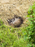 Homeless cat and kitten sleep in the hay. Royalty Free Stock Photography