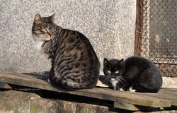 Homeless cat with kitten Royalty Free Stock Image