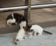 Homeless cat and little kitty eating rice on dish. Pulau Sibu, Malaysia Royalty Free Stock Photo