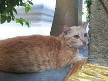 Homeless cat living in the thai temple Royalty Free Stock Photo
