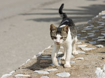 Homeless cat looking for food. Ugly homeless cat looking for food Royalty Free Stock Images