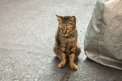 Homeless cat on street. Homeless old cat face look like a baby tiger royalty free stock images