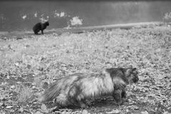 Homeless cats walk around the city. Black and white photography stock photography