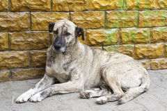 Homeless dirty dog. Resting near a wall royalty free stock images