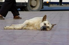 Homeless dog. The homeless dog sleeping on foot sidewalk Royalty Free Stock Photography