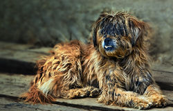 Homeless dog Royalty Free Stock Photo