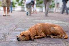 Homeless dog. The red homeless dog lies in the street against indifferent people Royalty Free Stock Photography