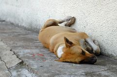 Homeless Dog. A homeless dog sleeping by the road side Royalty Free Stock Photos
