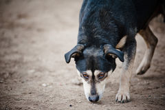 Homeless dog closeup. Homeless dog is sniffing ground stock photos