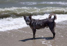 Mongrel on the sea shore. The homeless dog costs on seacoast Stock Photo