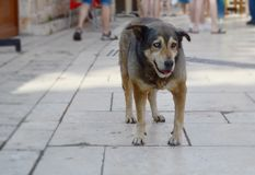 Homeless dog with different colored eyes on a street of Antalya, Turkey. One eye is blue, other eye is brown. Stock Photo
