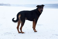 Homeless dog on the frozen lake surface in winter Royalty Free Stock Photo