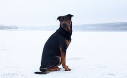 Homeless dog on the frozen lake surface in winter Stock Images