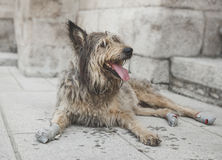 Homeless dog Royalty Free Stock Image