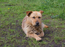 Homeless dog on a green grass Stock Images