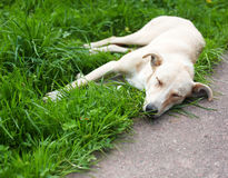 Homeless dog Royalty Free Stock Photography