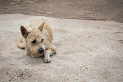Homeless dog. Royalty Free Stock Photo