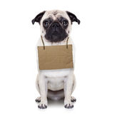 Homeless dog. Lost,homeless pug dog with cardboard hanging around neck, isolated on white background stock photos