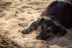 Homeless dog lying on sand Stock Image