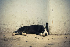 Homeless dog sleeping near by wall. Royalty Free Stock Photos