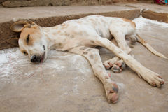 Homeless dog sleeping on the pavement of the old town. Royalty Free Stock Photos