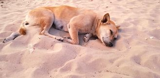 Homeless dog sleeping on the  sand beach. Homeless dog sleeping on the  sand beach, Brown Dog is sleep on the sand during twilight. Space for text in template Royalty Free Stock Photo
