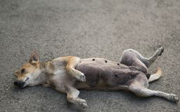 Homeless dog sleeping on the street in funny position. An orange stray dog lie on the street somewhere in Bangkok in an ridiculous position Stock Image