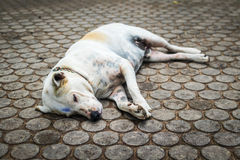 Homeless dog sleeping on the walkway Stock Photography